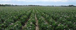 Potato farm in Idaho